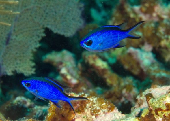 Blue Chromis in Sosua