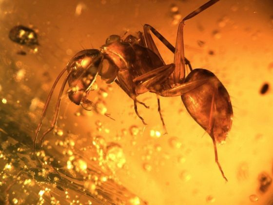 fruit fly preserved in time