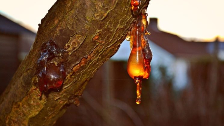 The tree sap that formed amber