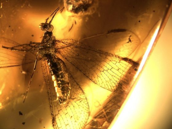 A dragonfly perfectly preserved by amber 45 million years ago