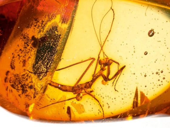 A praying Mantis from the Mesozoic era