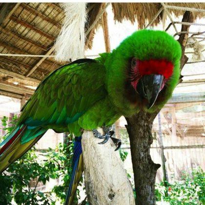 green cacatua