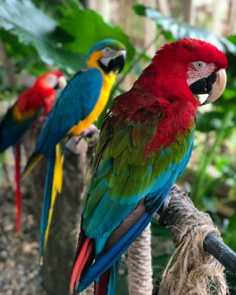 parrots with colorful feathers