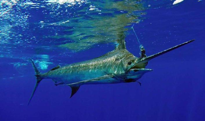 Marlin taking the bait
