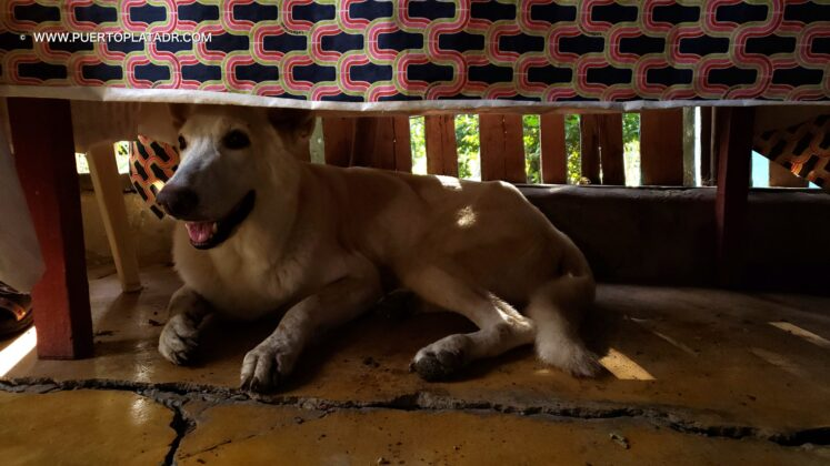Dog sits below table in a campo house, Puerto Plata