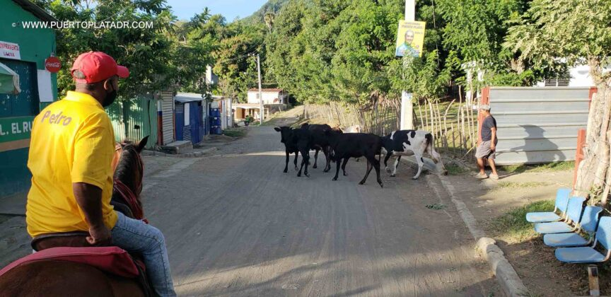 Cows walk on the road