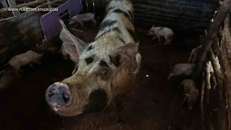 spotted pig in Puerto Plata