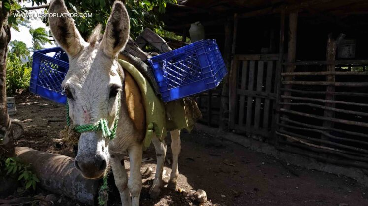 A donkey in the campo Puerto Plata